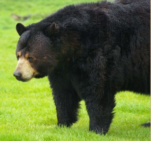 Lodi couple argues toothless black bear doesn't need permit