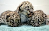 Snow leopard cubs born at Akron Zoo