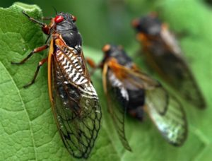 Cicada Mania comes to Medina County Park District