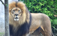 Akron Zoo's new exhibit Pride of Africa opens Saturday